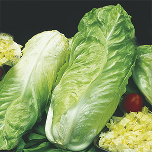 Sugar chicory or Chinese cabbage cooked